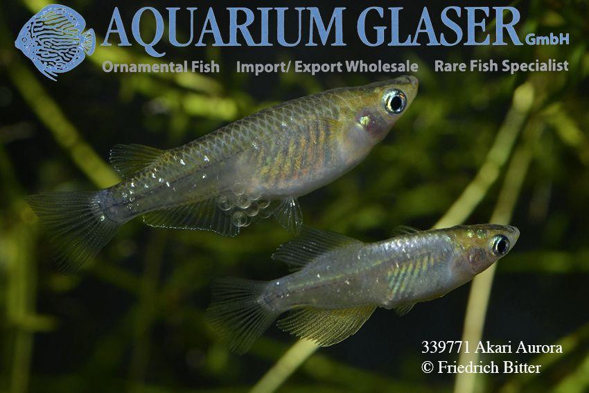 Oryzias Latipes Medaka Zuchtformen Aquarium Glaser Gmbh In 2020 Rare Fish Aquarium Fish Tank