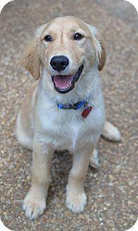 Enfield, CT - Golden Retriever. Meet Max, a puppy for adoption. http://www.adoptapet.com/pet/13007555-enfield-connecticut-golden-retriever