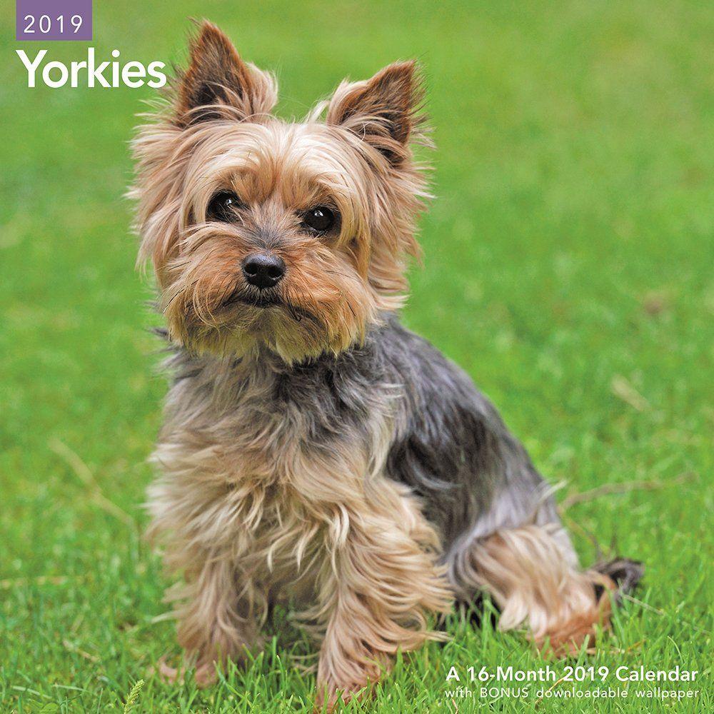 Yorkies Wall Calendar 2019 Calendar July 1 2018 Calendar Wall Yorkies July Yorkshire Terrier Dog Yorkshire Terrier Puppies Terrier Puppies