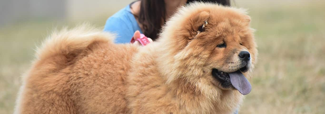 Chow Chow Dog Breed Facts And Personality Traits Hill S Pet This