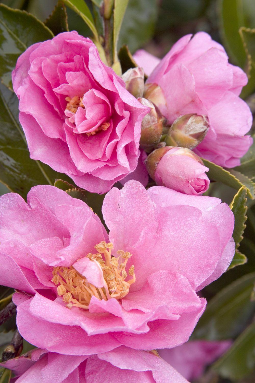 Marge Miller Camellia Monrovia Marge Miller Camellia Camellia Plant Camellia Plant Catalogs