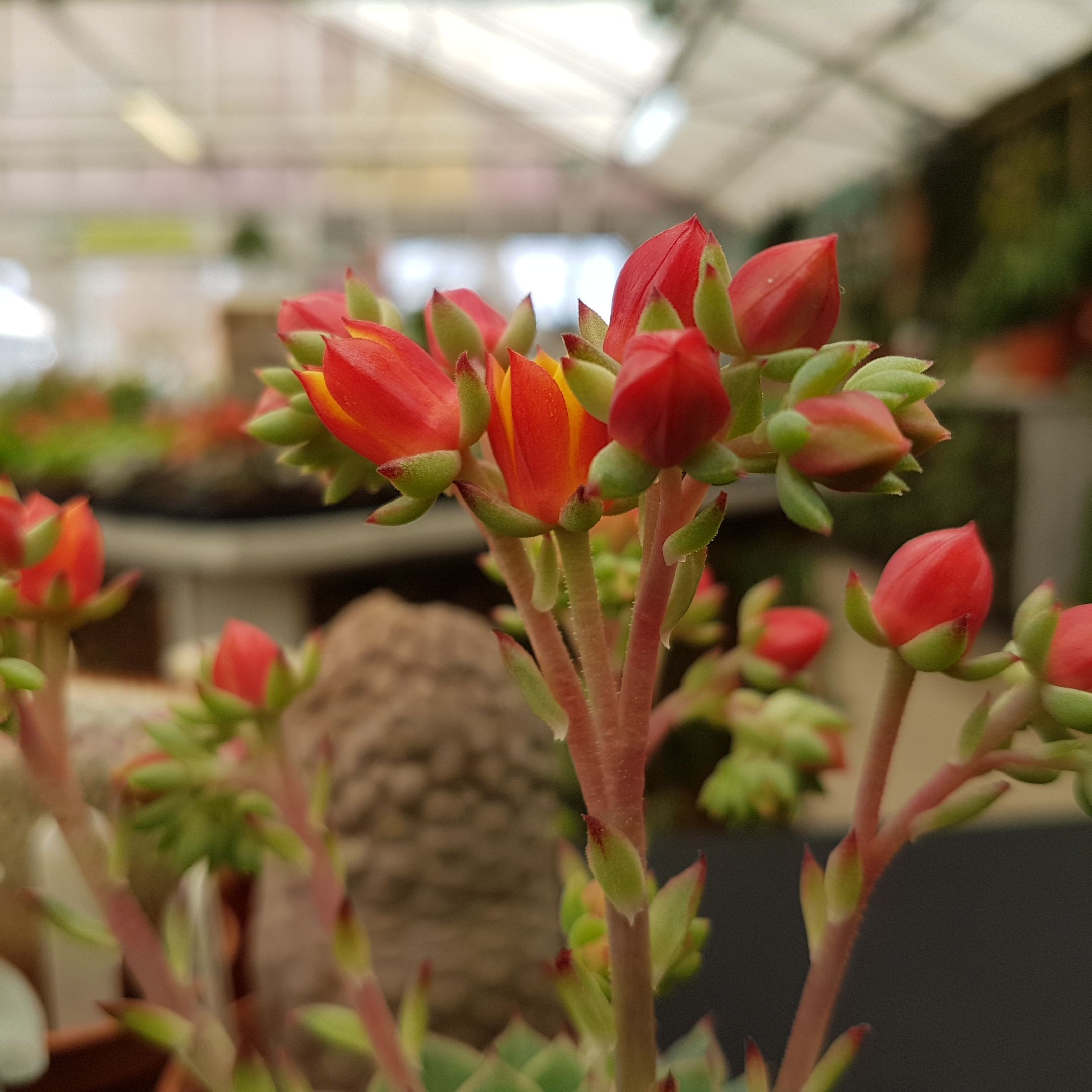 Echeveria Sp A Rather Vibrant Red And Yellow Flower To This Small
