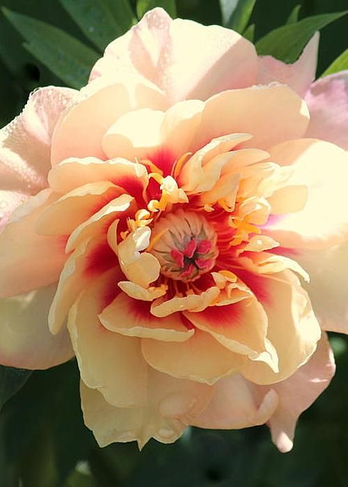 Peony Flair Greeting Card For Sale By Rosanne Jordan Beautiful Flowers Amazing Flowers Flower Photos