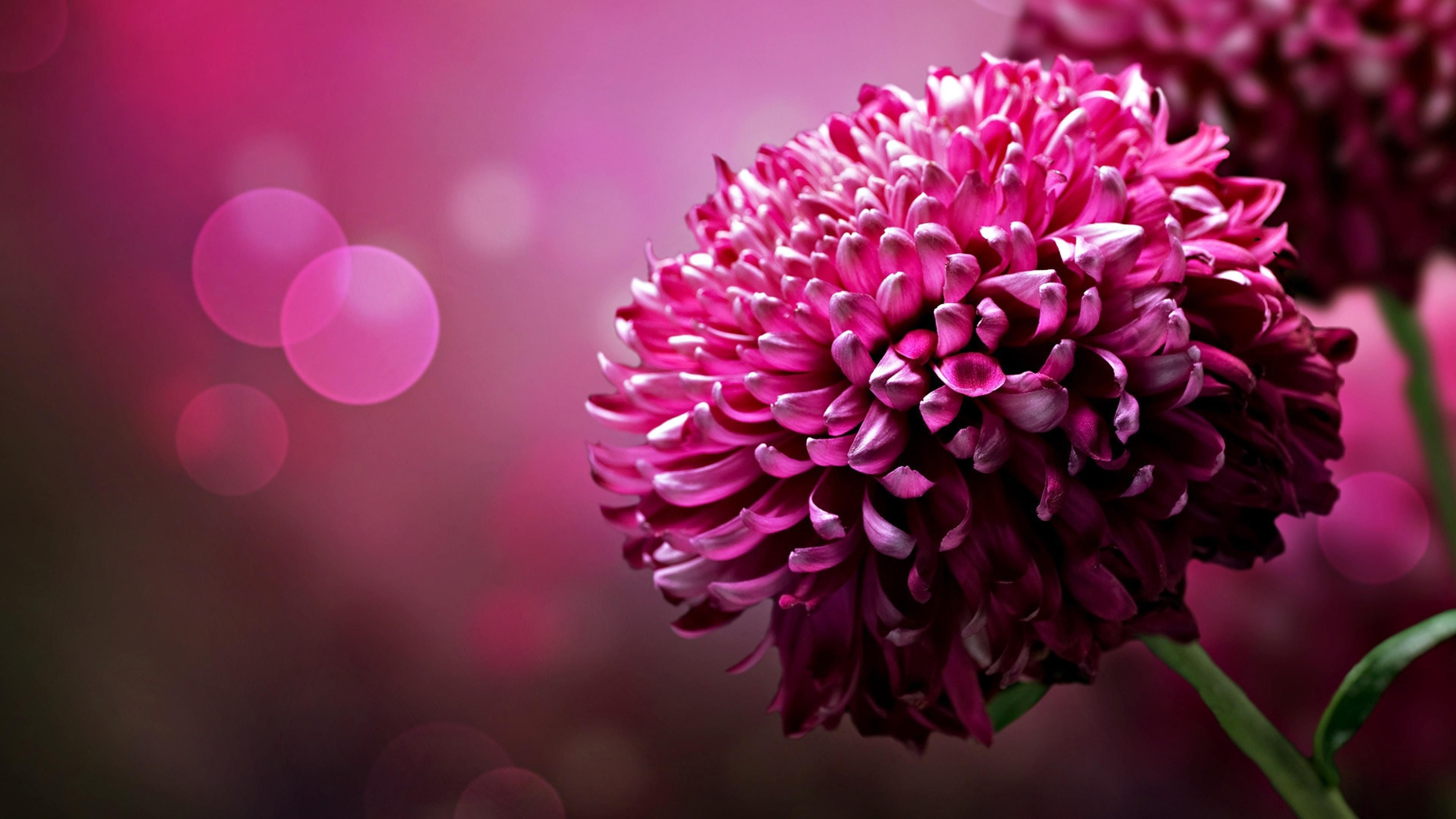 Pink Flowers Macro Flowers Bokeh Hq Wallpaper Amazing Beauty