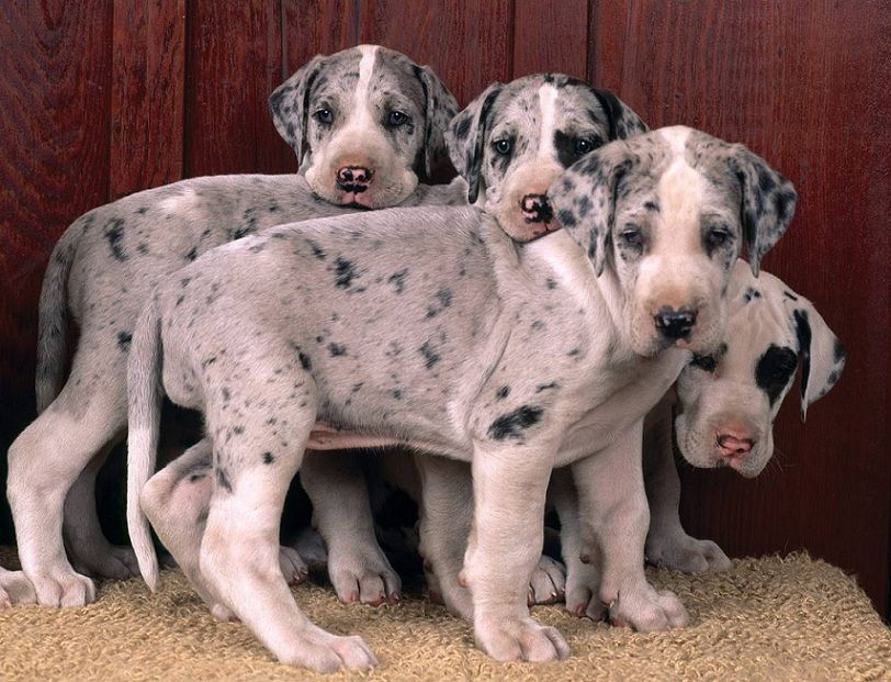 Harlequin Great Dane Puppies This Is The Type Of Great Dane I