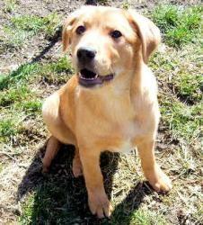 Adopt Sunshine On Labrador Retriever Dog Labrador Retriever