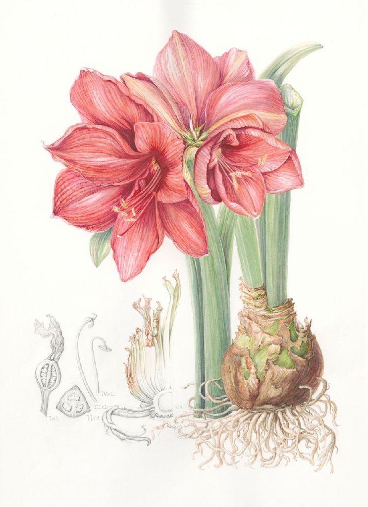 амариллис цветок рисунок