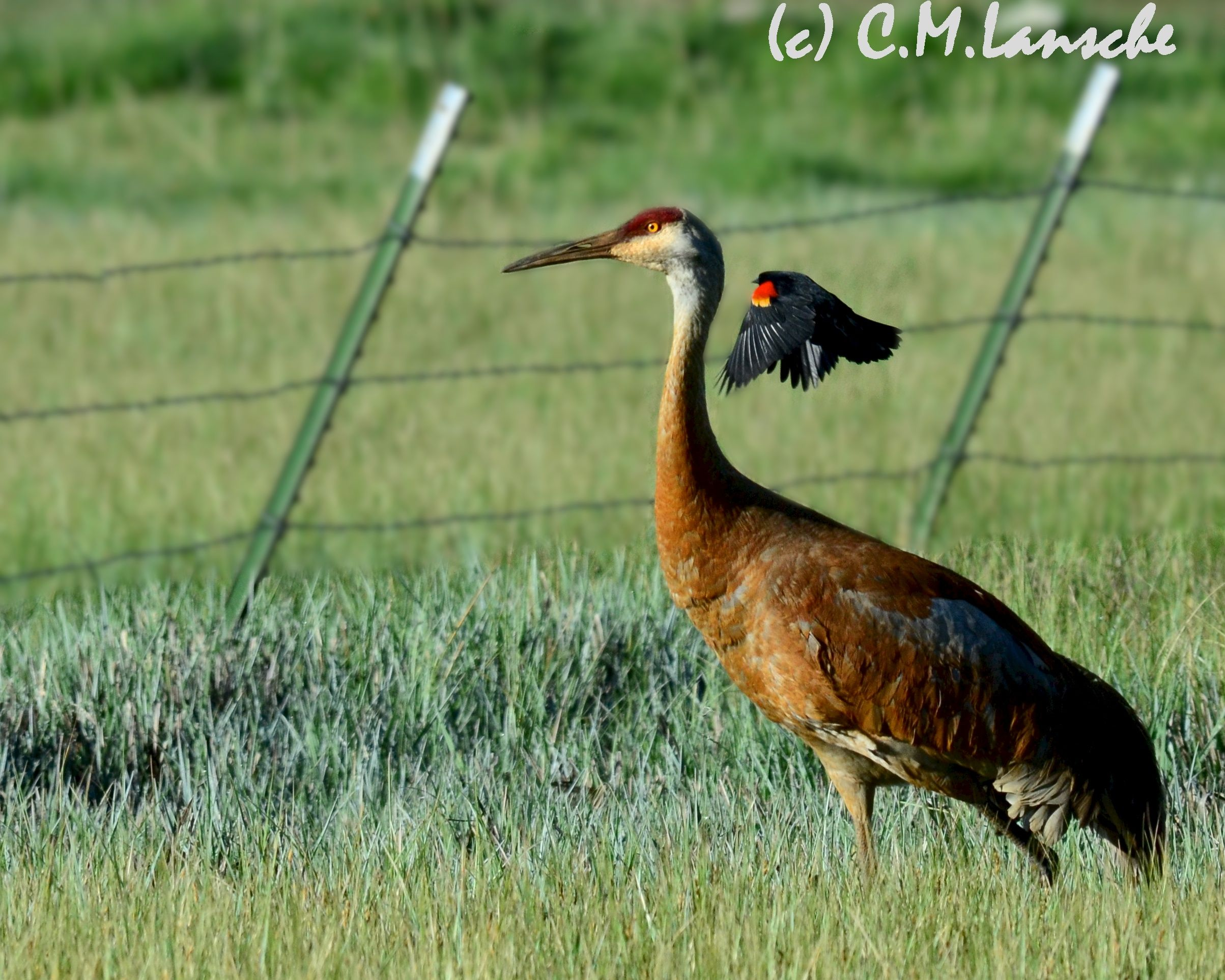 Nesting sandhill crane is strafed by an angry red winged blackbird.  Summit County, Utah.