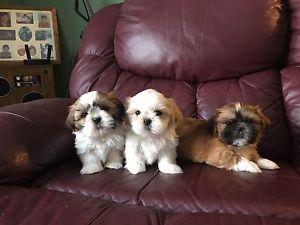 Genuine Shih Tzu Puppies Ready Now To Come Home Barrie