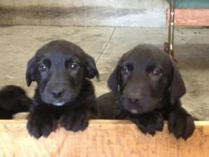 Adopt Puppies On Puppies Labrador Retriever Dog Retriever Dog