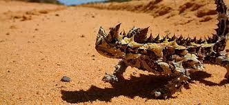Una especie de camaleón , proviene del desierto cálido