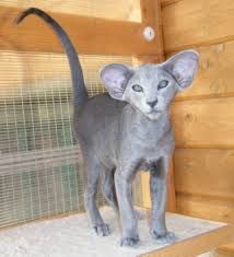 Image result for amikoshi cat