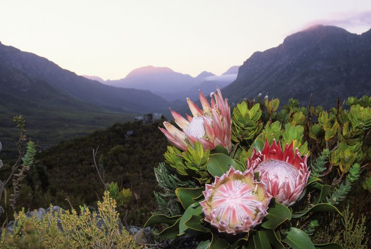 Up Your Garden S Beauty Quotient With These Flowers Protea Flower Protea Plant King Protea