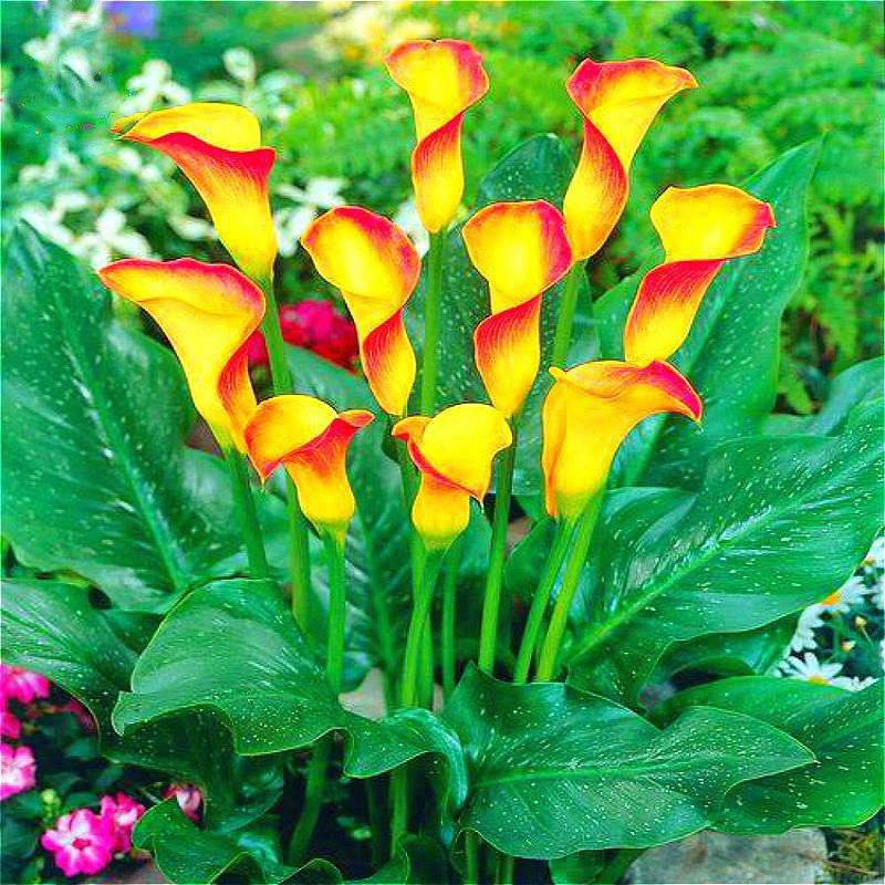Calla Callas Yellowflowers Yellowred Flowers Beautifulflowers Flowers Perennials Flower Seeds Lily Seeds