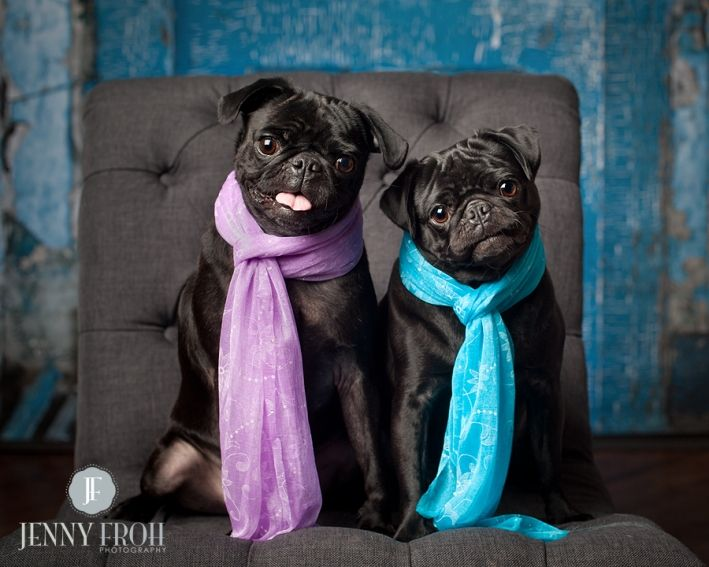 Bella And Lola Pugs Funny Pug Love Cute Pugs