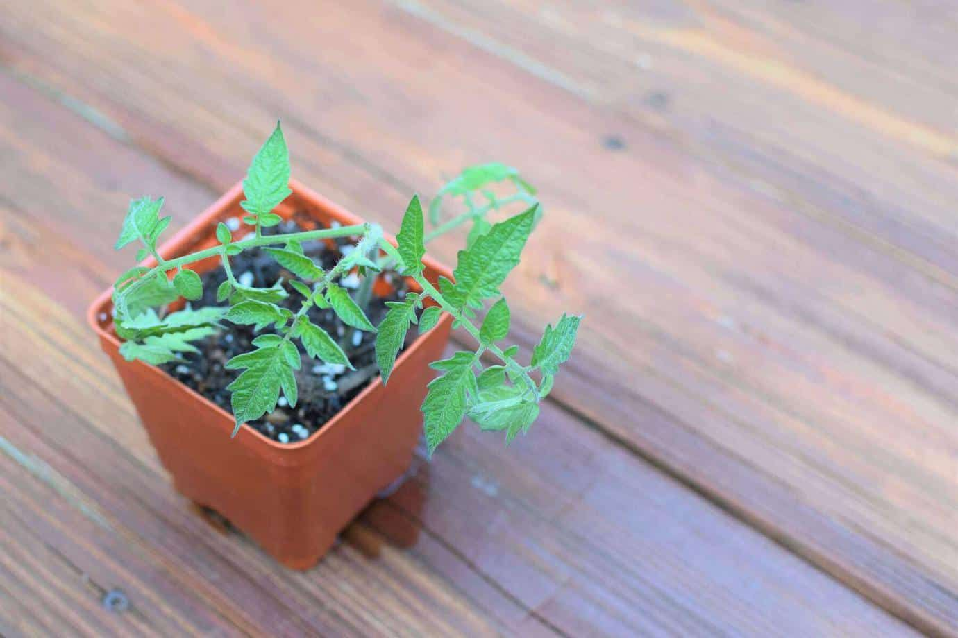 How to clone tomato plants from cuttings