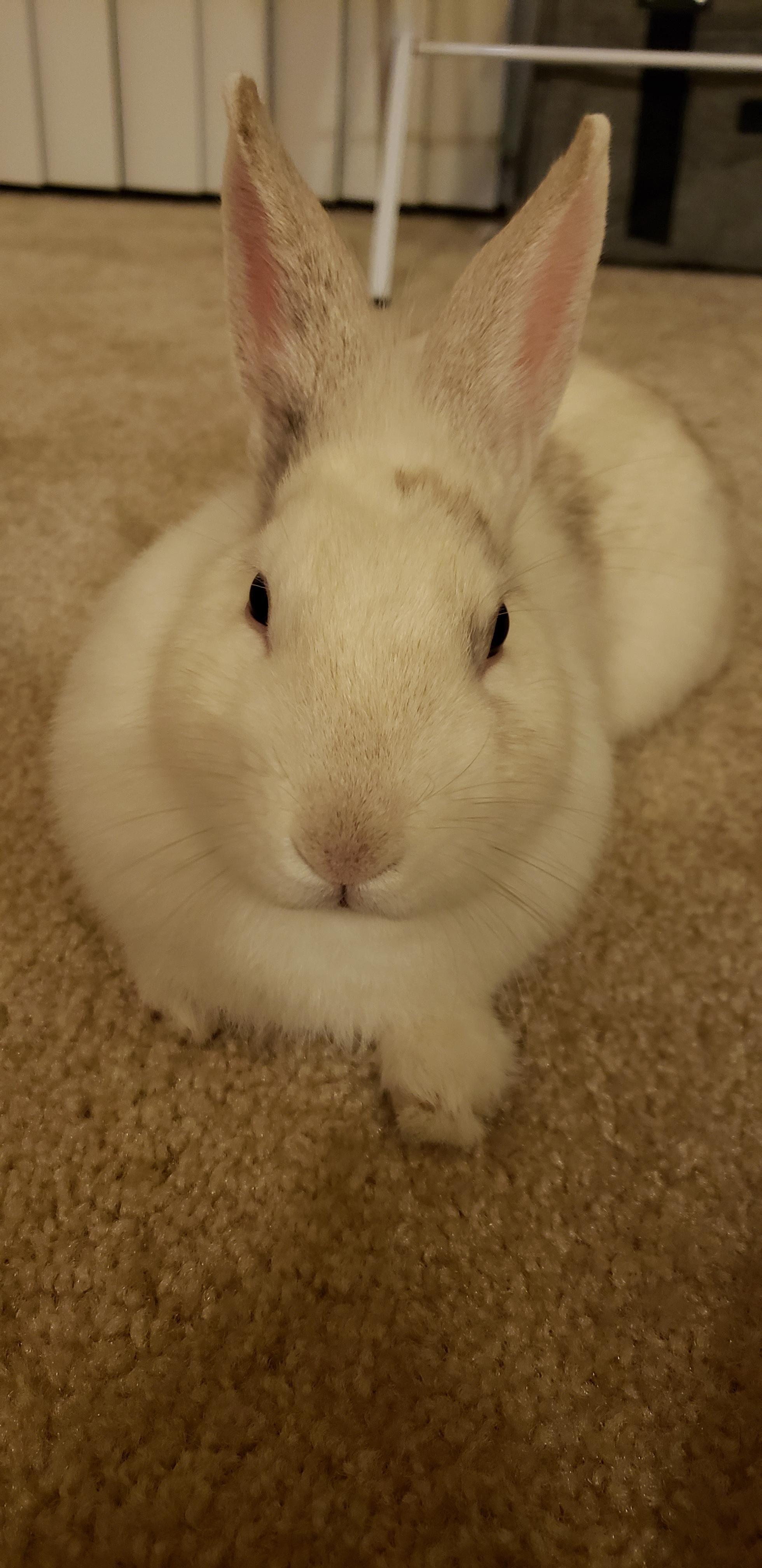 The House Rabbit Guide Rabbit Playpen Bunny Supplies Playpen