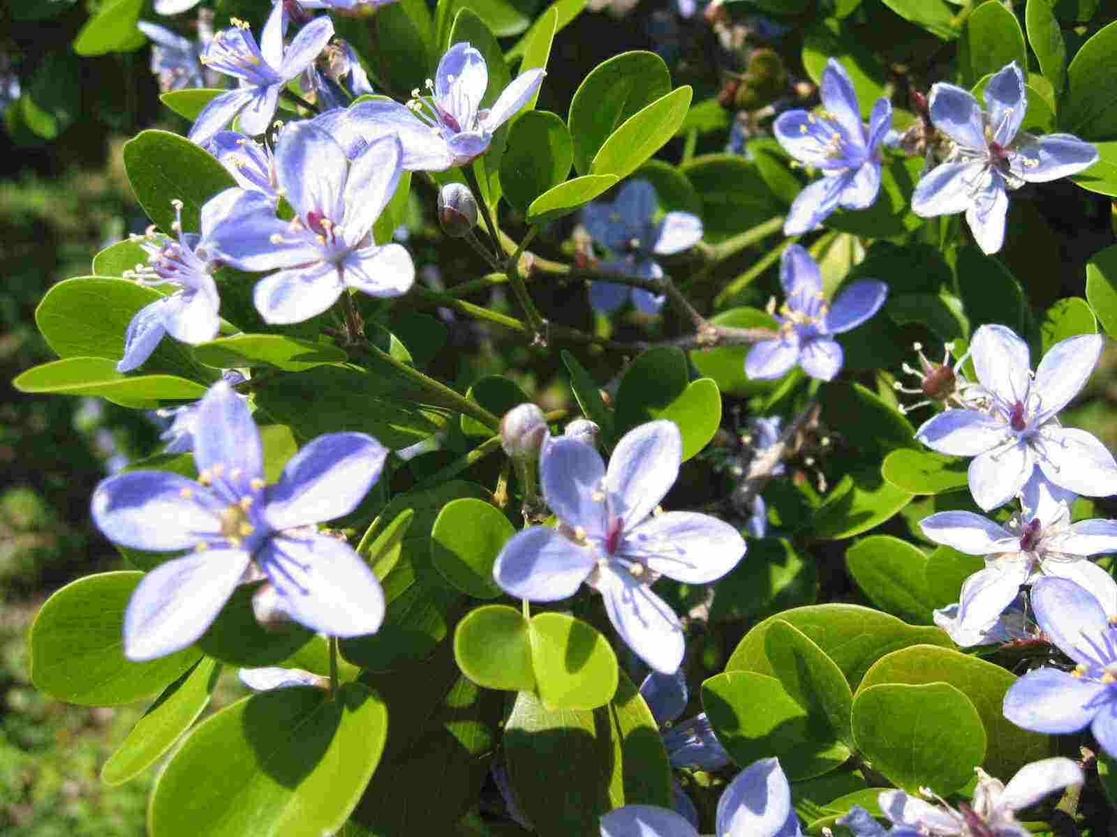 Ligum vitae jamaicas national flower yardi food pinterest ligum vitae jamaicas national flower izmirmasajfo
