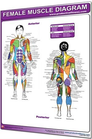 Female Muscle Diagram Muscle Chart 1962 Female Muscle Diagram