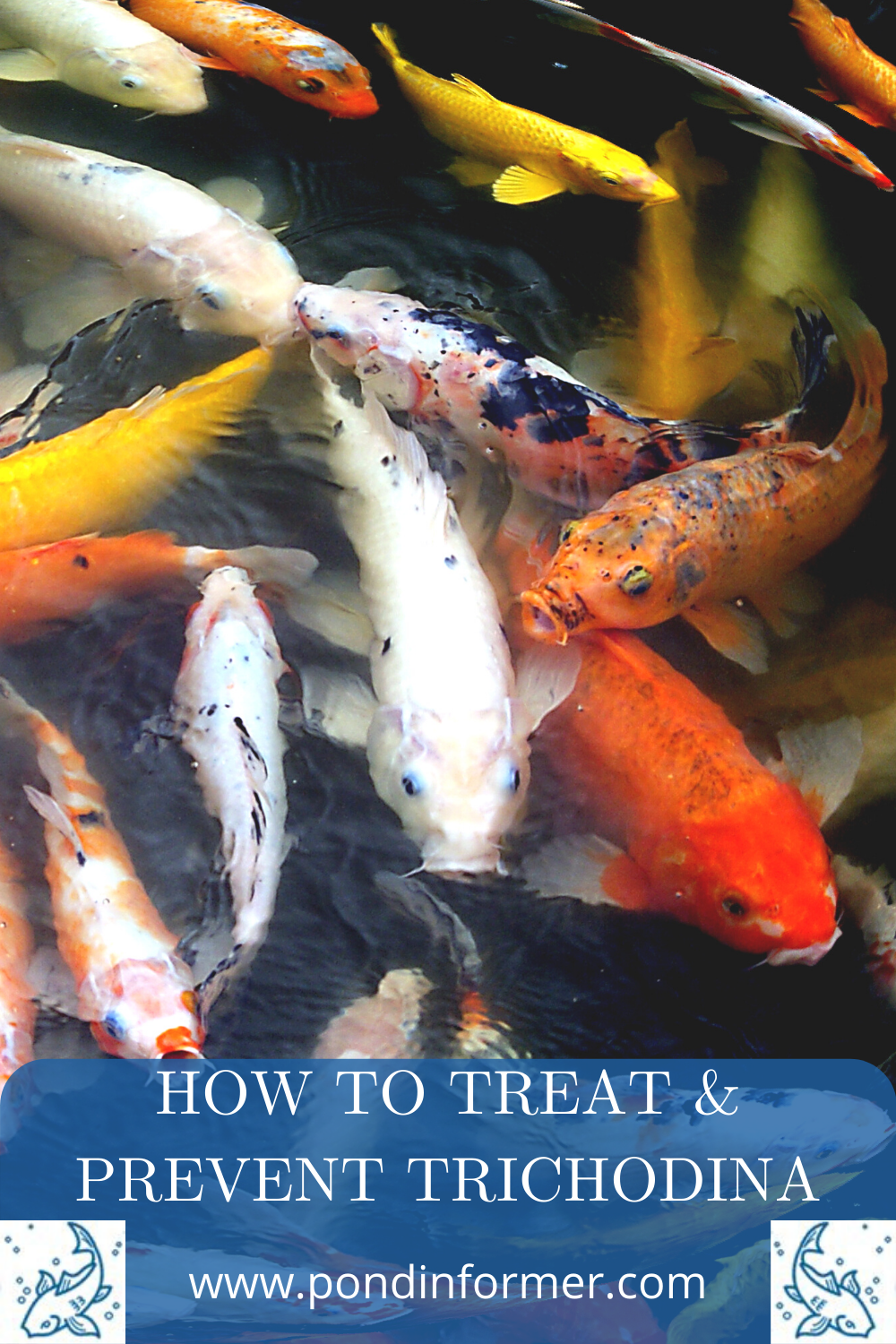 How To Treat Trichodina In Koi In 2021 Fish Pond Gardens Outdoor Fish Ponds Koi