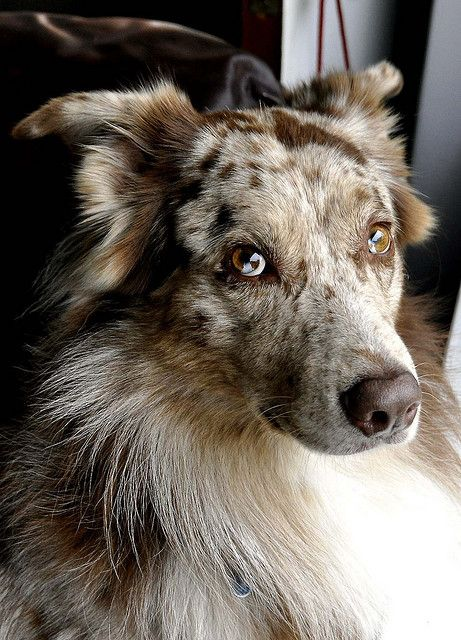 Cadence Www Reddit Com Dog Shots Aussie Dogs Australian Shepherd