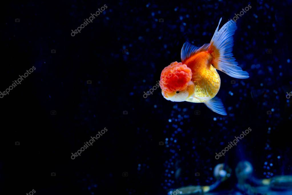 Beautiful Oranda Goldfish Swimming In The Tank With Oxygen Bubbles In Background Affiliate Goldfish Swimming Beautiful Oranda Ad ปลาสวยงาม