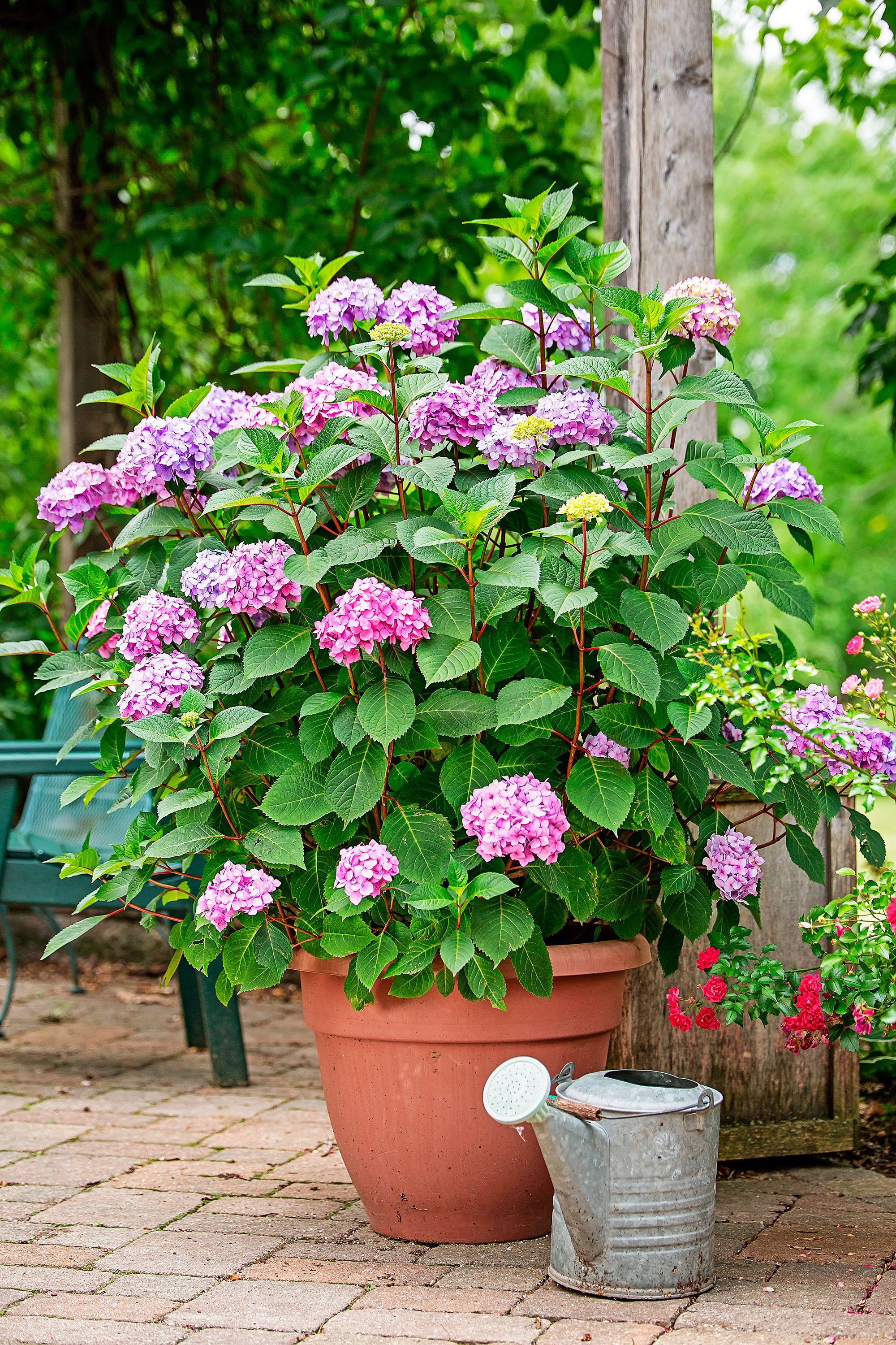 Big Container Plants For Small Yards Growing Hydrangeas Container Plants Hydrangea Potted