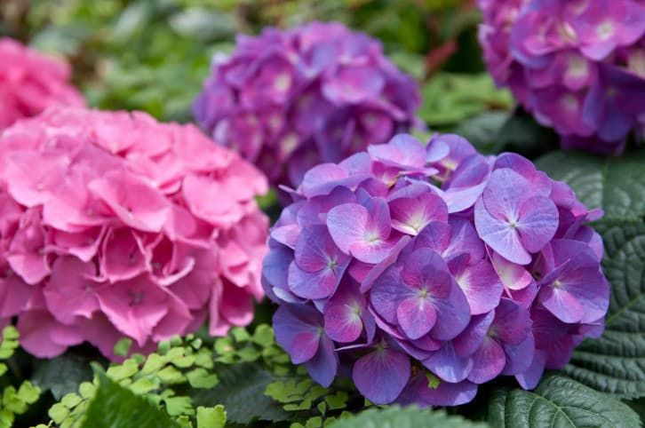 Hydrangeas will always be classic.