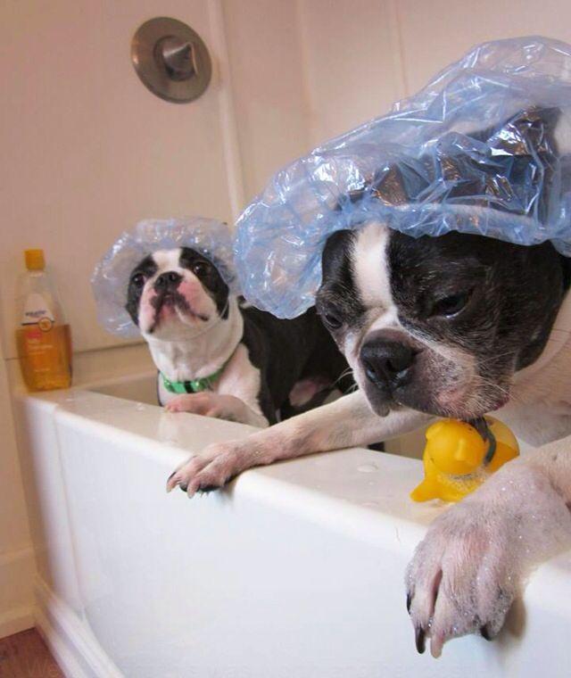 Bostons In The Bath Boston Terrier Dog Boston Terrier Puppy
