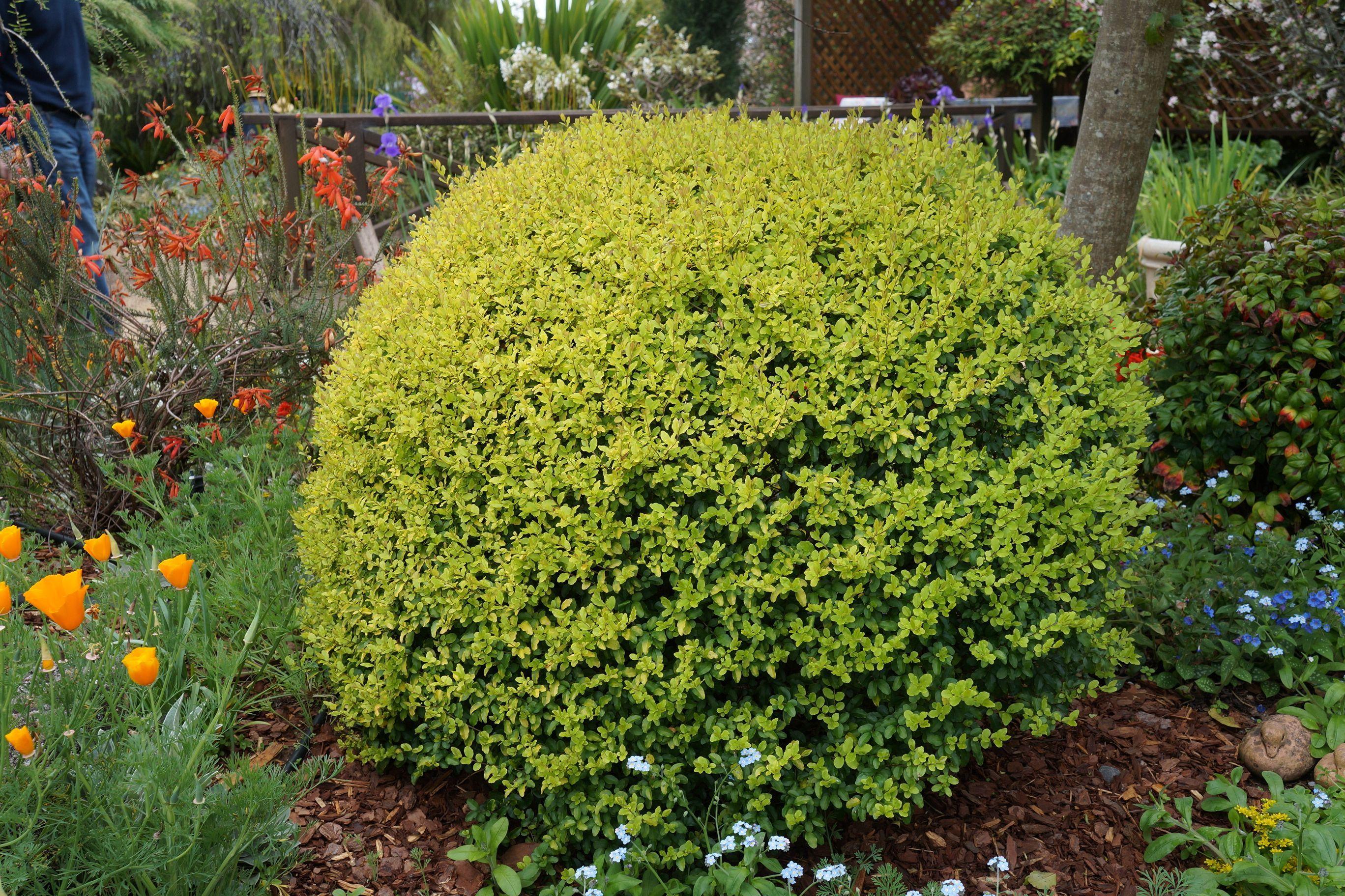 ligustrum ovalifolium 39 aureum 39 ideas for end garden bed shade loving plants pinterest. Black Bedroom Furniture Sets. Home Design Ideas