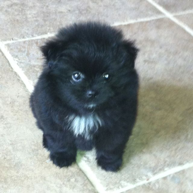 My Fluffy Black Pomeranian Puppy