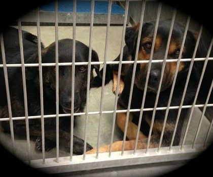 Lancaster Ca Urgent Please Help Guardian Dies Two Treasured Dogs Wind Up In Animal Control Facility The Sheltered Dogs Dog Wound Dog Sounds Dog Adoption