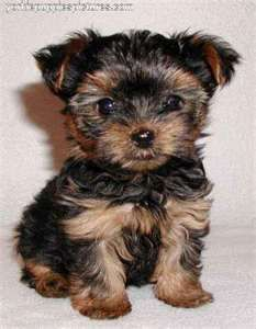 Yorkies Dog Breeds That Dont Shed Hypoallergenic Dog Breed Puppies