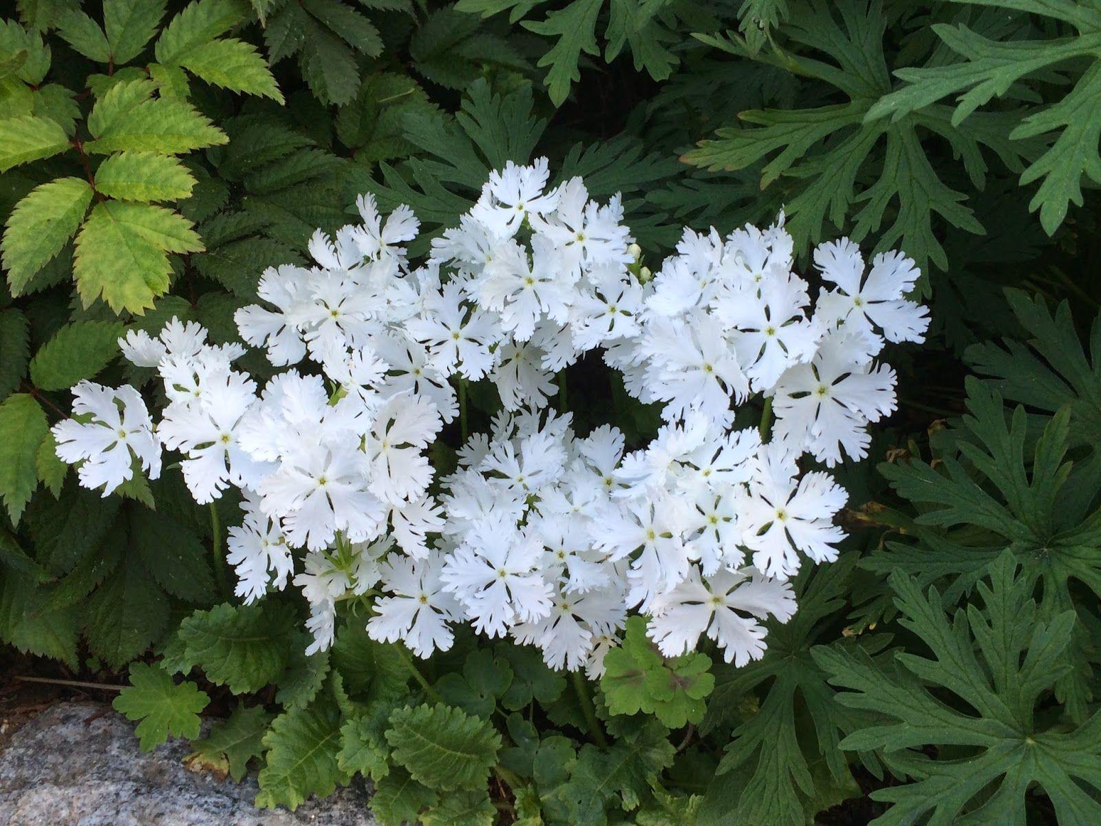 Nina i Paradiset: primula sieboldii 'snowflake'