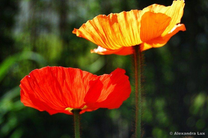 #flower #Mohnblumen
