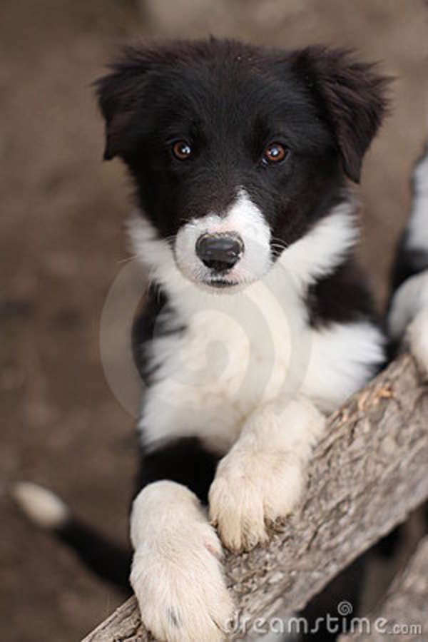 Cute Black White Puppy Dog Collie Dogs Dogs Puppies