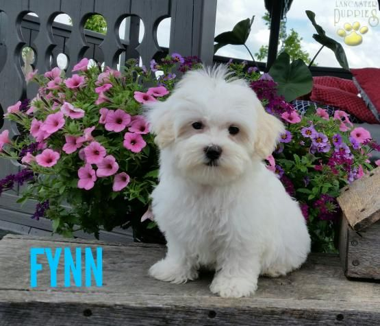 Fynn Maltese Puppy For Sale In Millersburg Oh Lancaster