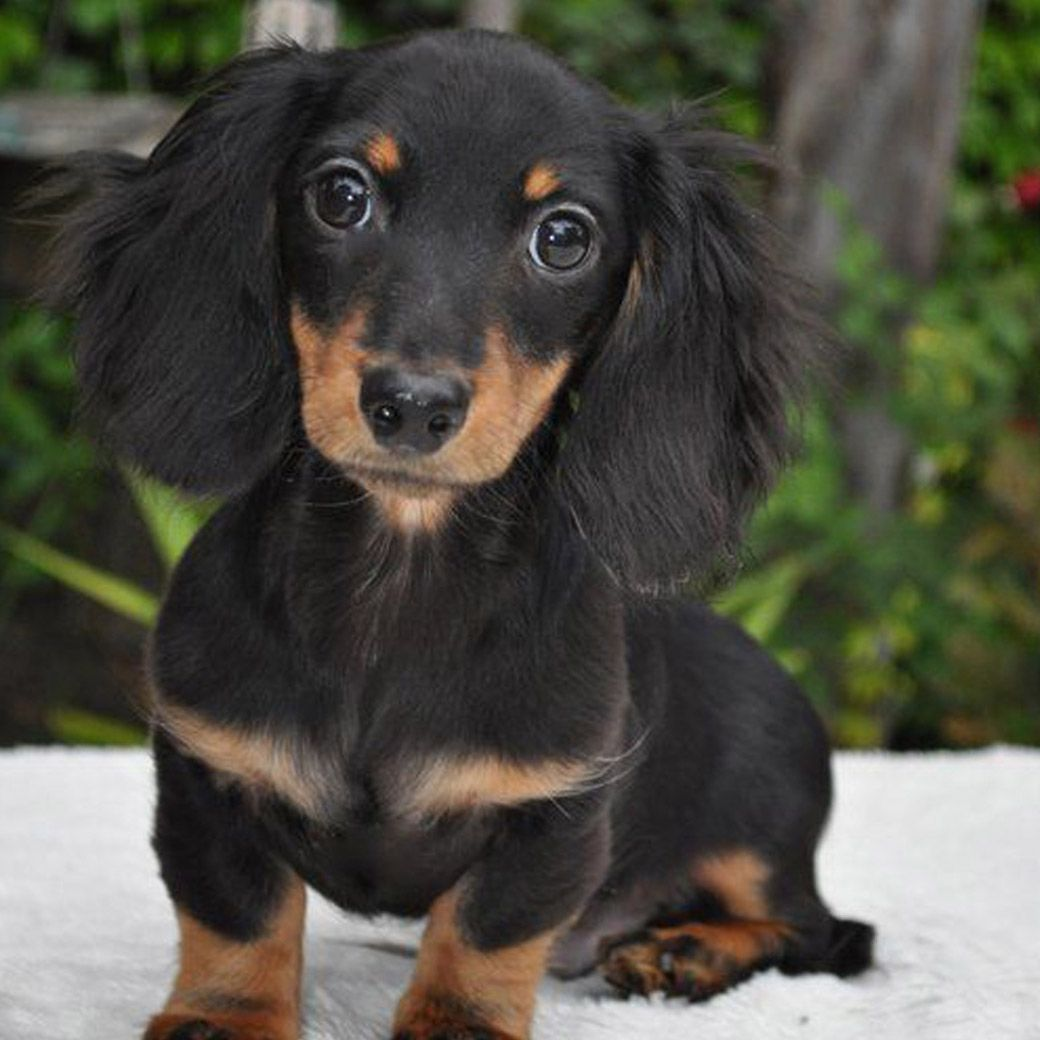 View The Puppy Pose Long Haired Dachshund Dachshund Dog