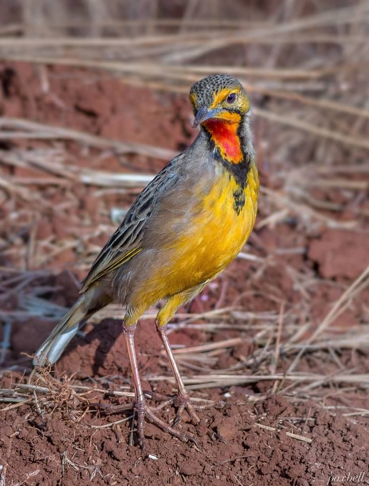 Cape orange throated long claw order passeriformes