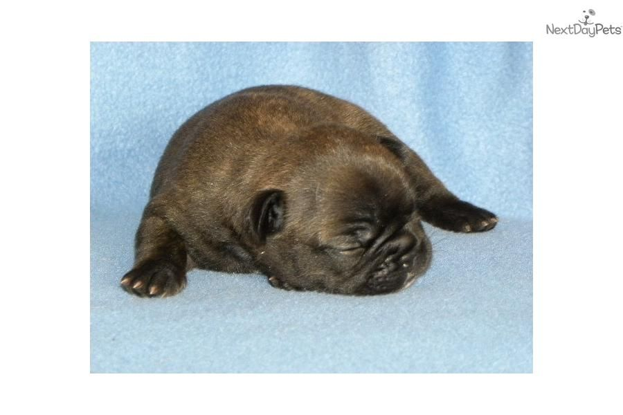 Meet Cece A Cute French Bulldog Puppy For Sale For 2 000 Akc