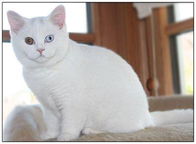 British Shorthair Cat White With Blue And Orange Eyes British