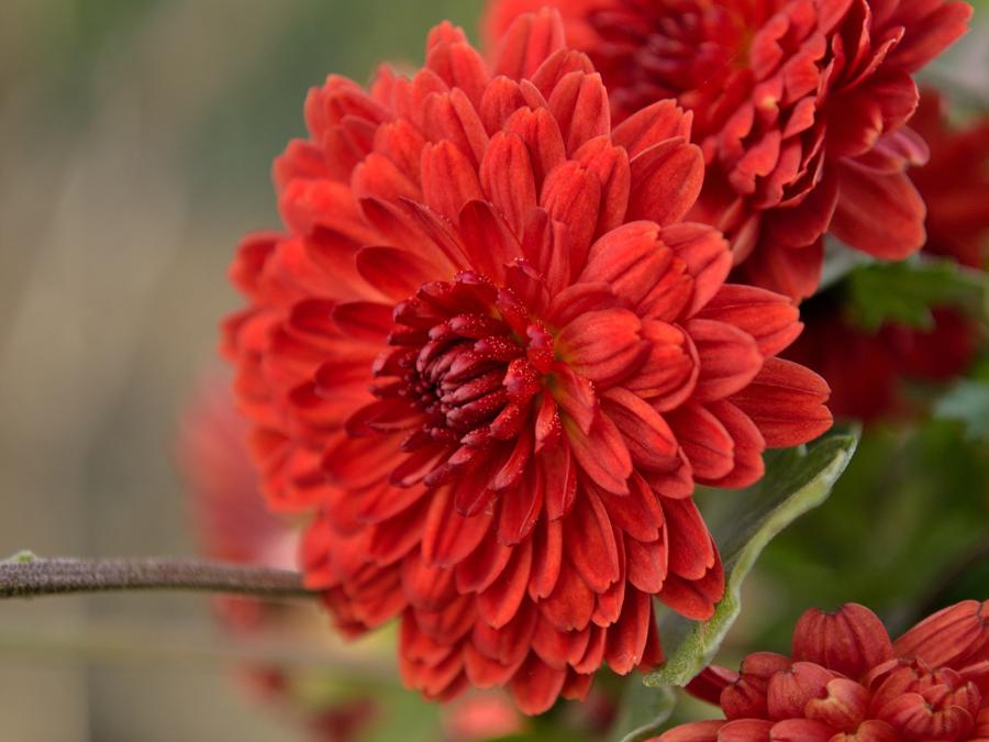 Pin On Chrysanthemums