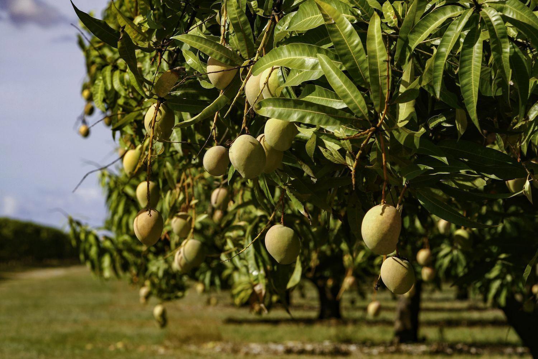Aquaponics Betta Fish Post 4043705507 Winegrapegrowingzones Mango Plant Mango Tree Garden Care