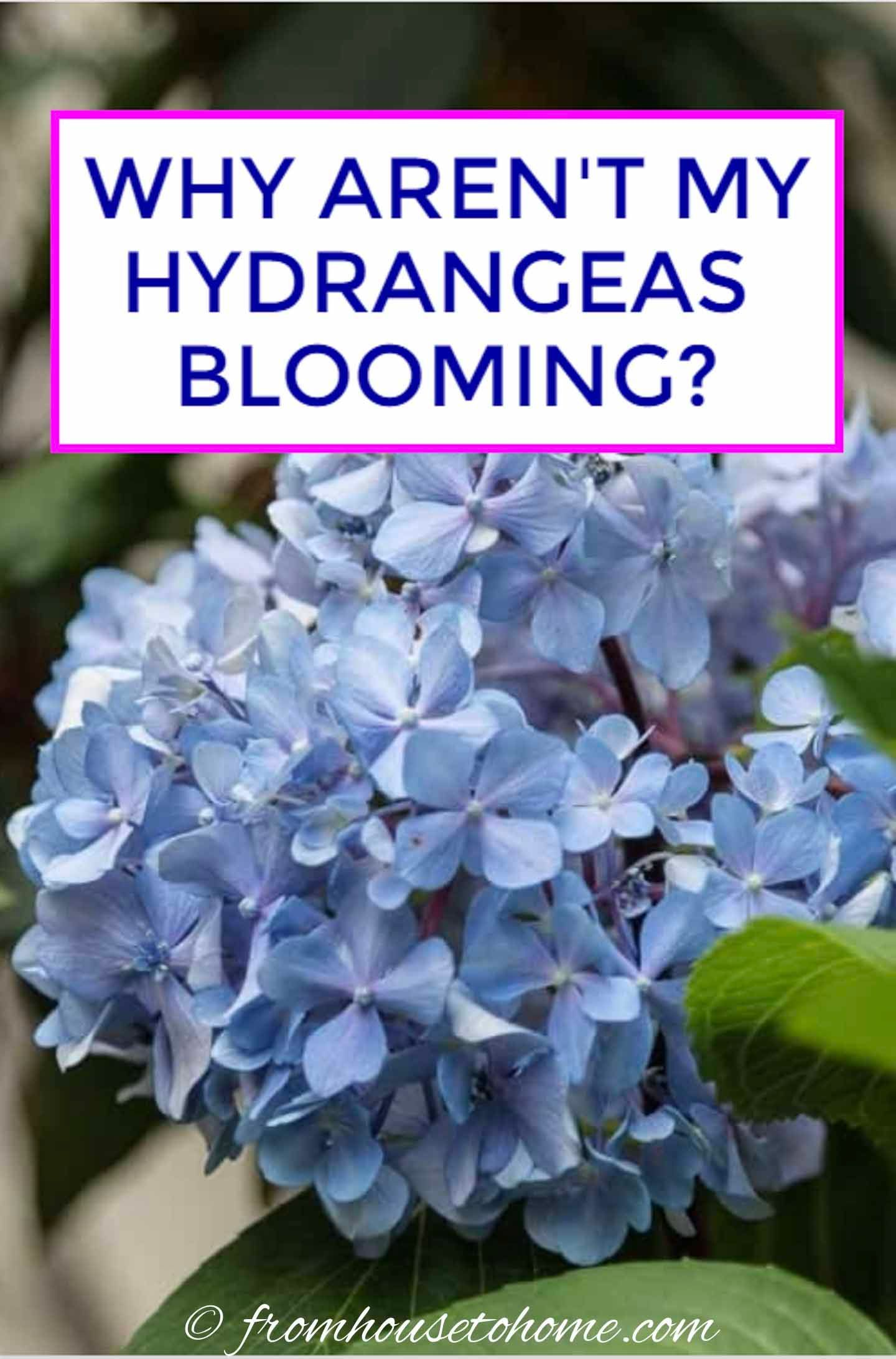Why Are My Hydrangeas Not Blooming In 2020 Hydrangea Not Blooming Hydrangea Landscaping Hydrangea Shade