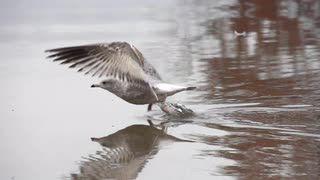 Slow Motion Seagull Flight   @videoblocks