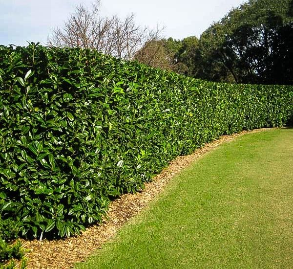 Dwarf English Cherry Laurel Landscaping Along Fence