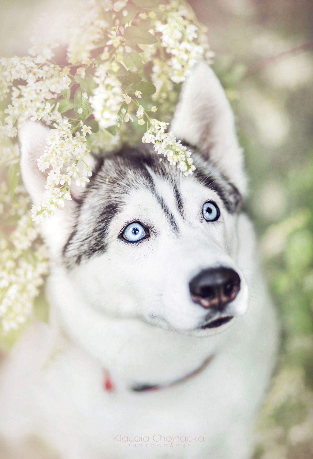 Pin Em Siberian Husky