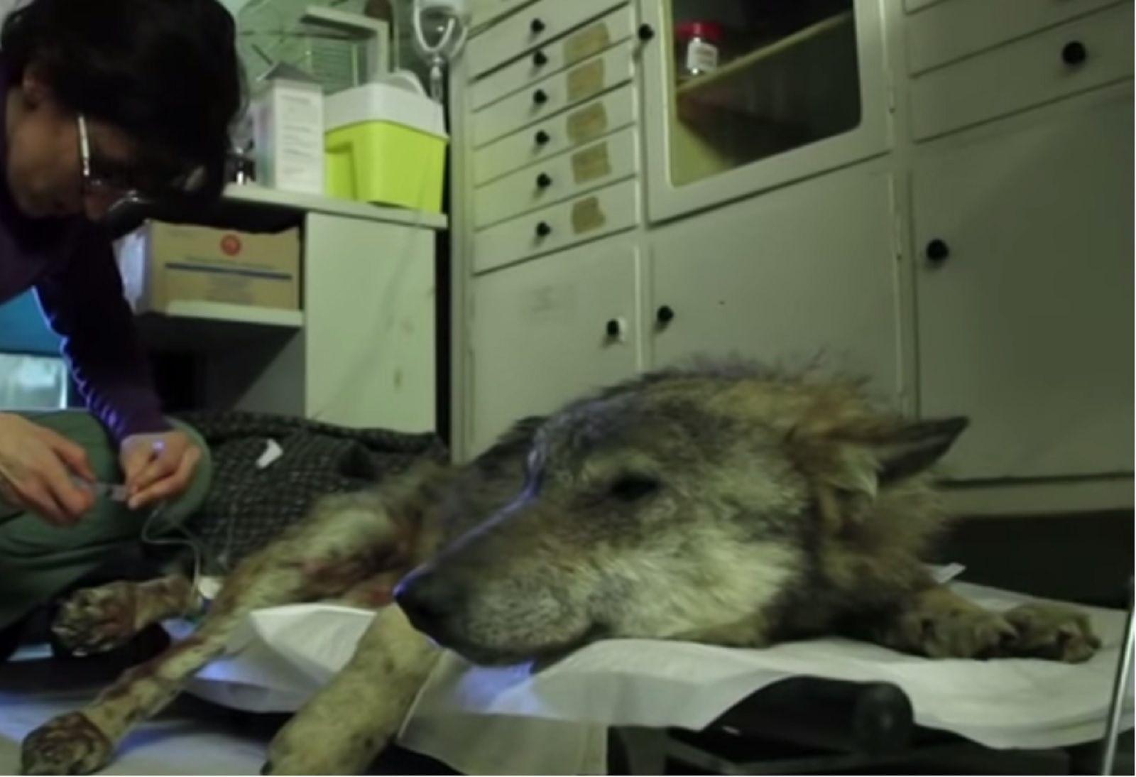 19+ Wolf trap animal rescue ideas
