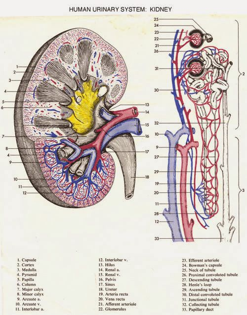 Kidney anatomy and physiology ppt | www.harvard-wm.org | Pinterest