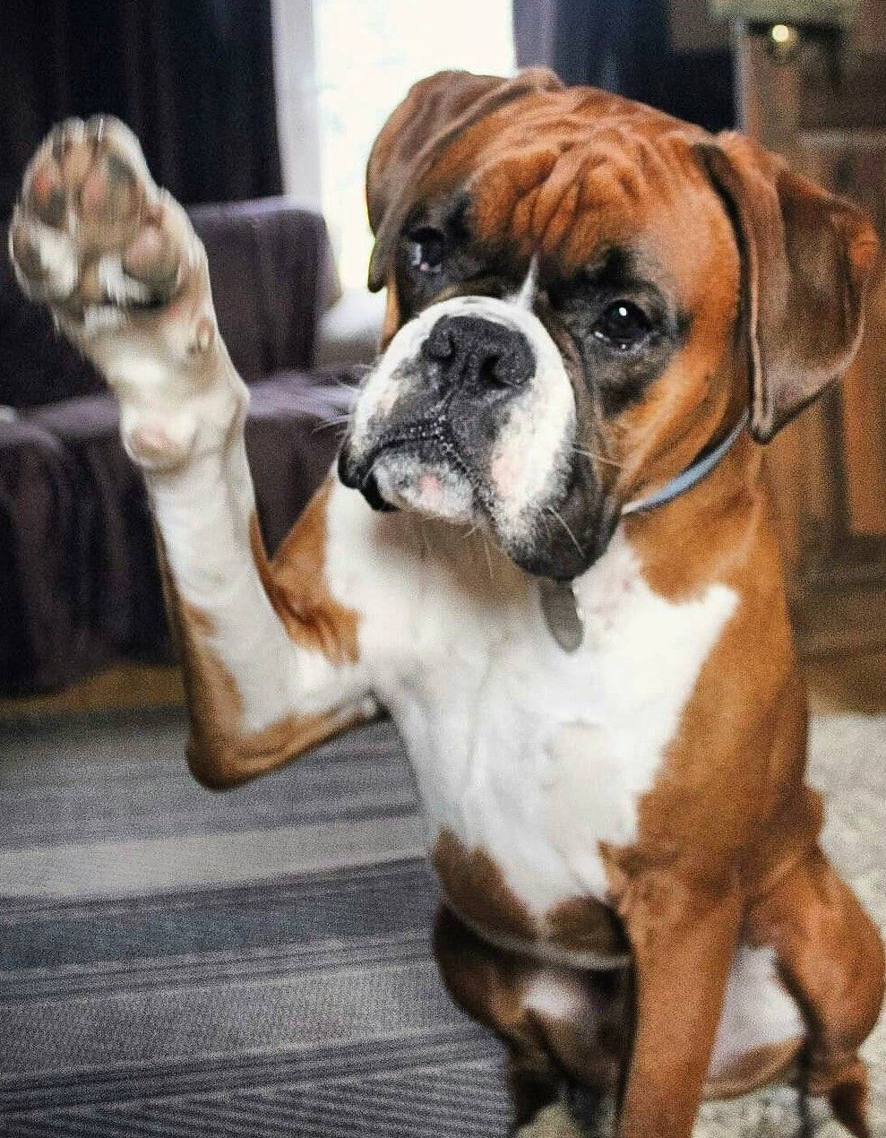Pin By Angela Peppin On Boxer Love In 2020 Boxer Dog Puppy Boxer Dogs Funny Boxer Dog Breed